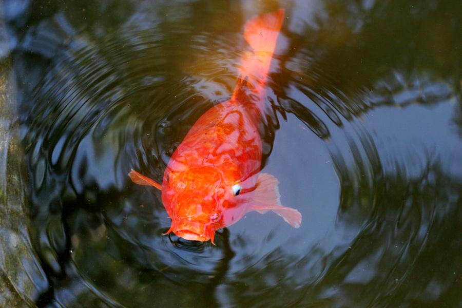 Big Fish in a Pool at the Huntington in Pasadena