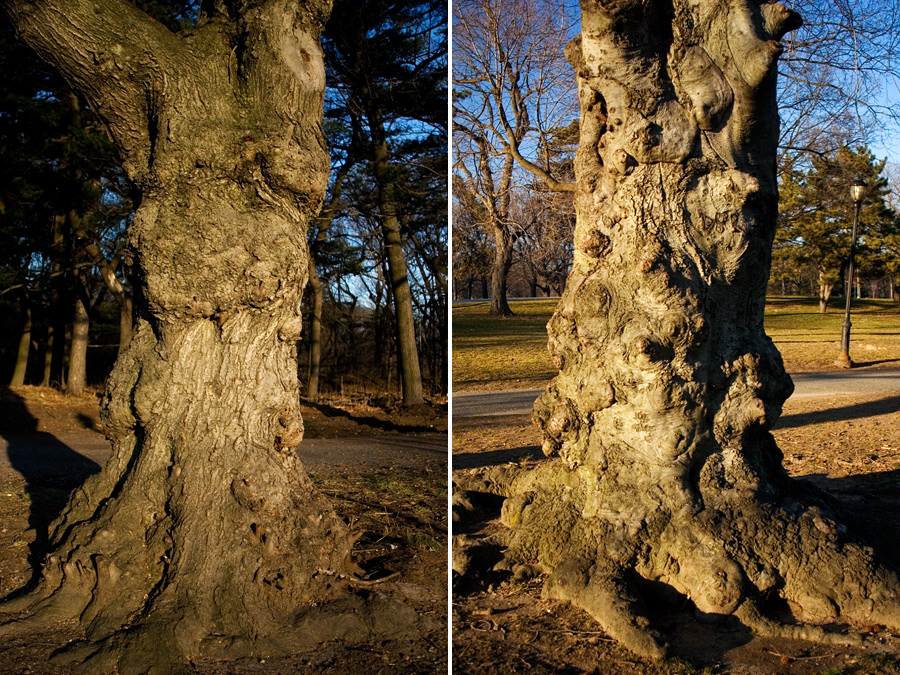 Two Trees in Prospect Park